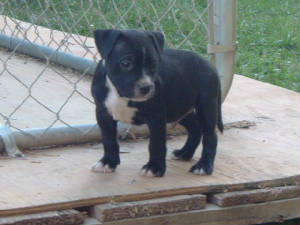 pitbullpuppies006.jpg