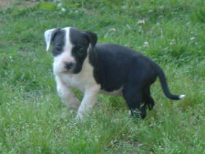 pitbullpuppies007.jpg